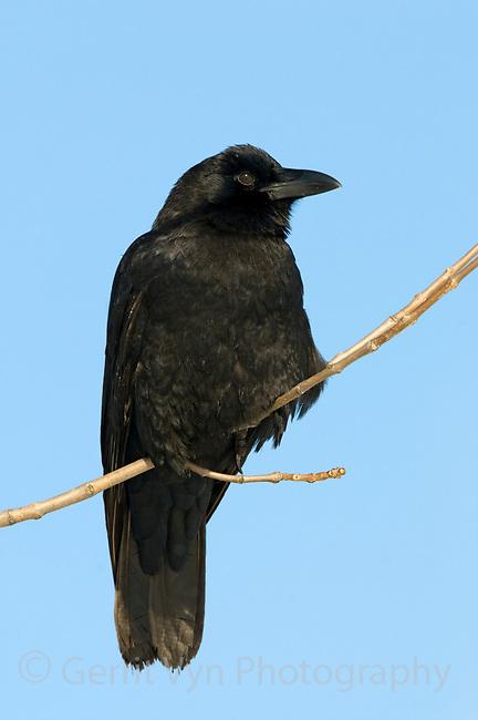 American Crow (Corvus brachyrhynchos). Tompkins County, New York. December.