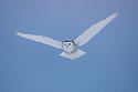 Snowy owl in flight, Canada