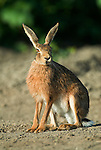 Brown hare, Lepus capensis, at edge of farmer field, very shy, alert, long ears.United Kingdom....