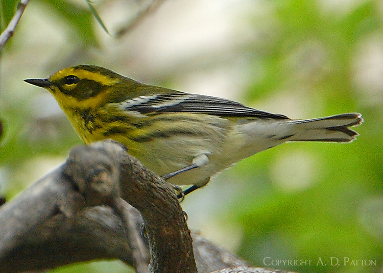 Adult male Townsend's warbler