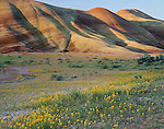 John Day Fossil Beds National Monument, OR: Morning light on the Painted Hills with flowering yellow Bee Plant and John Day Chaenactis