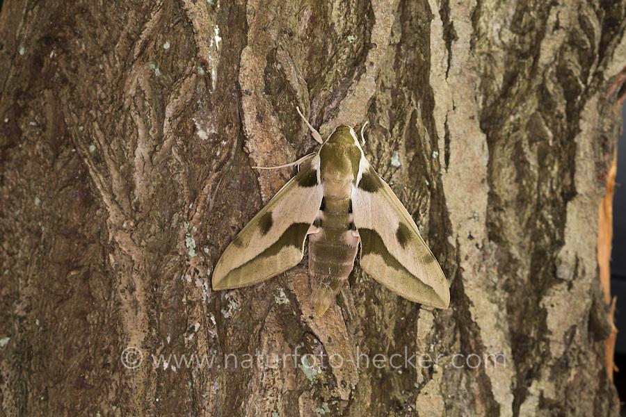 Mittelmeer-Wolfsmilchschwärmer, Riesen-Wolfsmilchschwärmer, Hyles nicaea, Mediterranean Hawk-moth, Greater Spurge hawkmoth, Le Sphinx Nicéa, Schwärmer, Sphingidae, hawkmoths, hawk moths, sphinx moths, sphinx moth, hawk-moths, hawkmoth