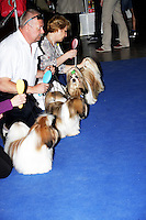 Shih Tzu's on a row on the blue show carpet, with the handlers holding their lead. The international dog show in Prague, europe, May 2014.