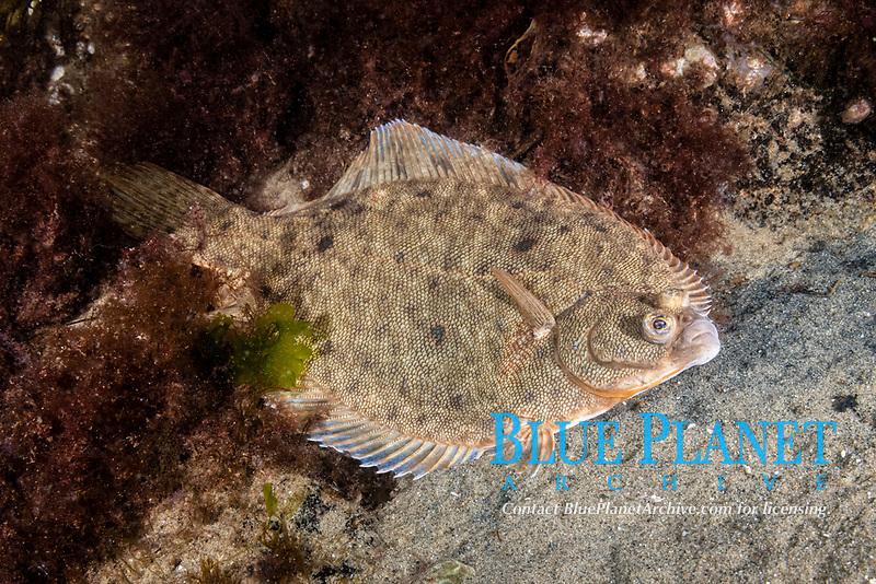 Winter Flounder, Pseudopleuronectes americanus, Gulf of Maine, Rockport, Massachusetts, USA, Atlantic Ocean