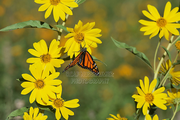 Monarch (Danaus plexippus), male feeding on Maximilians Sunflower (Helianthus maximilianii), Hill Country, Texas, USA