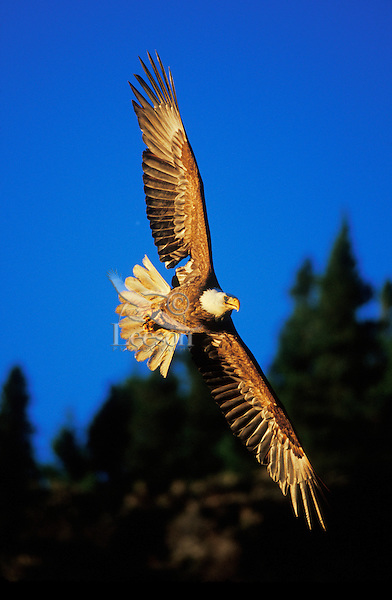 Bald Eagle flying--wings are picking up color from late evening sun.  Pacific Northwest.  Summer.