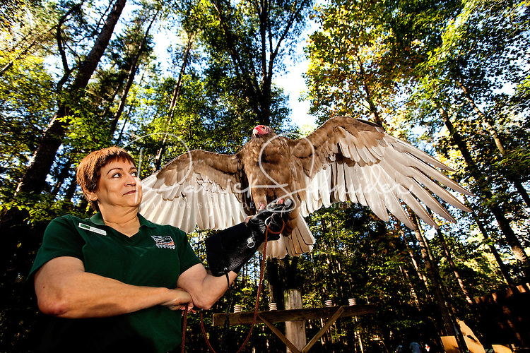 This Turkey Vulture (cathartes aura) is one of many injured and orphaned raptors living at the Carolina Raptor Center in Huntersville, NC (Mecklenburg County). Through its mission of environmental stewardship and conservation, the Carolina Raptor Center helps birds of prey through rehabilitation, research and public education. The center is located at 6000 Sample Road, Huntersville, NC.