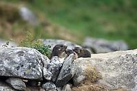 Three Marmots