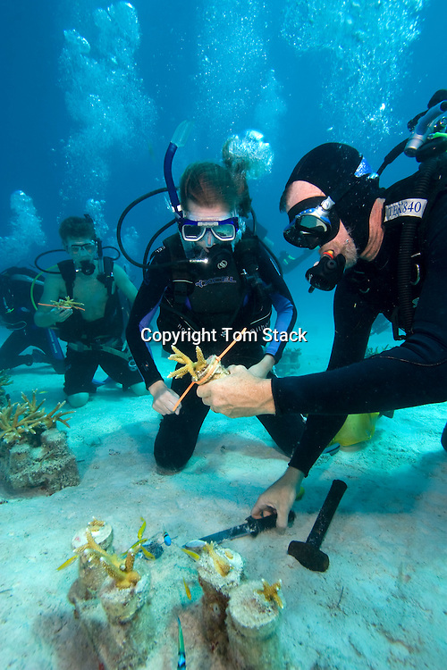 University students help harvest young Staghorn Coral from an underwater nursery for relocation to a damaged reef site off Key Largo, Florida Keys, USA