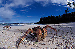 Robber or coconut crabs at Dolly Beach<br /> Birgus latro