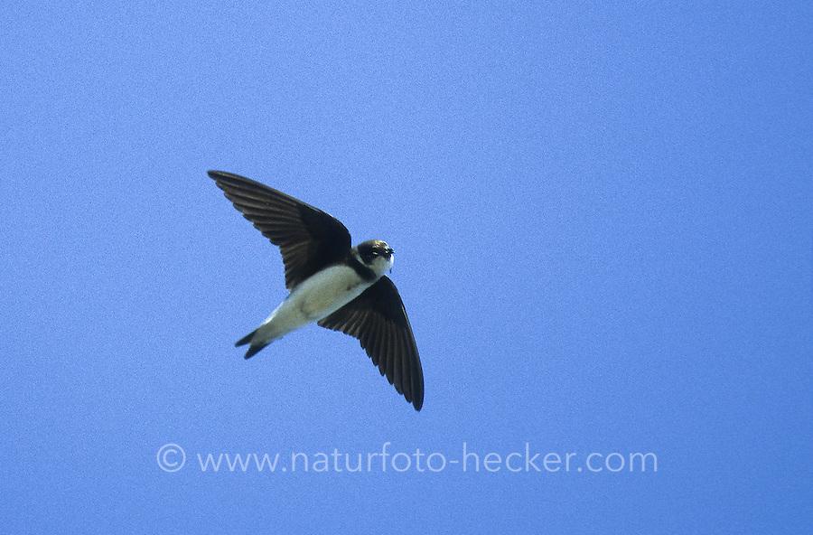 Uferschwalbe, im Flug, Flugbild, fliegend, Ufer-Schwalbe, Riparia riparia, sand martin