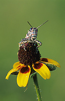 Painted Grasshopper, Dactylotum bicolor , adult on Clasping-leaved Coneflower (Dracopis amplexicaulis) , Welder Wildlife Refuge, Sinton, Texas, USA, May 2005