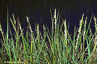 1G06-002c  Cord Grass - short form in flower, high salt marsh, Atlantic Coast  - Spartina alterniflora