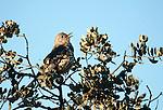 Song Thrush, Turdus philomelus, singing at top of tree, Sierra de Andujar Natural Park, Sierra Morena, Andalucia, Spain