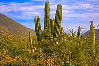 Bosque de Pithaya  &  Sahuaro, cactus el Colorado