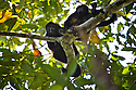 Golden-mantled howler monkey