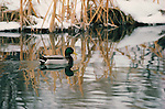 A drake mallard drifts, perfectly reflected in the winter waters of Wyoming.