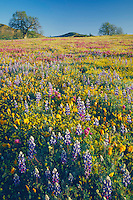 California poppies, California goldfields, Douglas' lupine<br />