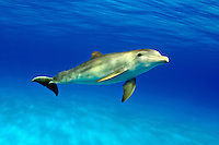 Atlantic Bottlenose Dolphin, Tursiops truncatus, ,  Stenella plagiodon,  Bahamas Bank.<br />