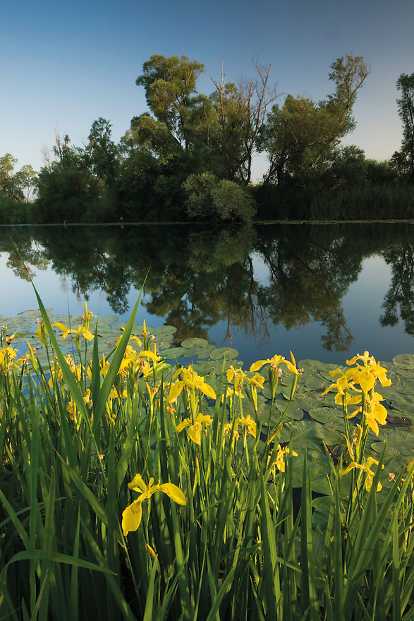 Yellow flag iris (Iris pseudacorus) and yellow water-lily (Nuphar lutea) with white willow (Salix alba) trees, along a channel of the Hutovo Blato Nature Park. Bosnia-Herzegovina.<br /> Elio della Ferrera / Wild Wonders of Europe