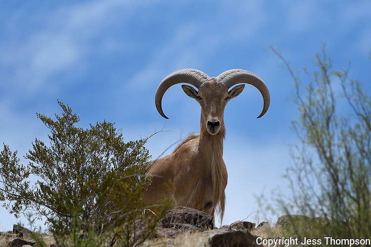 Aoudad, Big Bend National Park