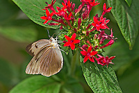 398560002 a captive great southern white butterfly ascia monuste perches on a flower at the butterfly pavilion at the santa barbara museum of natural history santa barbara california united states