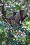 Woolly monkeys, Amazonas, Brazil