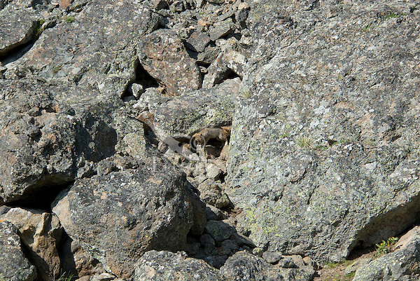 Wild Coyote (Canis latrans) pups at entrance to their den--den is under large rock on right.  Western U.S., June.