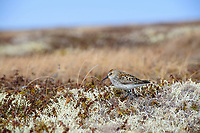 Western Sandpiper (Calidris mauri) on upland lichen tundra. Yukon Delta National Wildlife Refuge, Alaska. June.