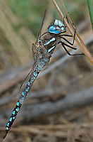 339300018 a wild male california darner rhionaeschna californica perches on a grass stem along ash creek near ash creek campground lassen county california