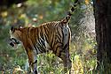 Female Bengal Tiger (Panthera tigris tigris) (Durga) spray marking tree. Bandhavgarh National Park, India.