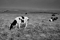 Friesian Holstein milk cows. County Kerry, Ireland