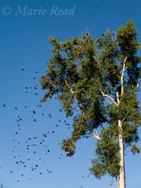Metallic (=Shining) Starlings (Aplonis metallica), flying back to their nest colony in a tree, Mission Beach, Queensland, Australia