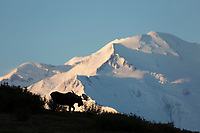 Adult bull moose stands on a ridge silhouetted agains Mt. Denali, Denali National Park, Alaska