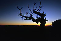 Contorted branches are silhouetted against a setting sun, Canyonlands National Park, Utah.