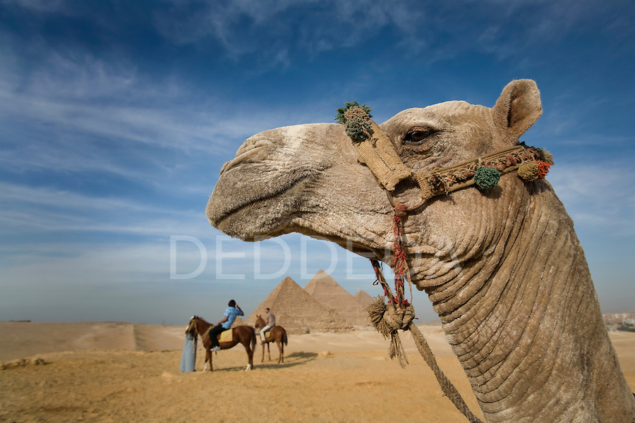 A camel at the site of the Pyramids of Giza near Cairo, Egypt.