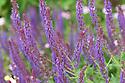 Salvia x superba 'Superba', mid June.