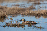 Female spectacled eider swims in a tundra pond on Alaska arctic north slope.