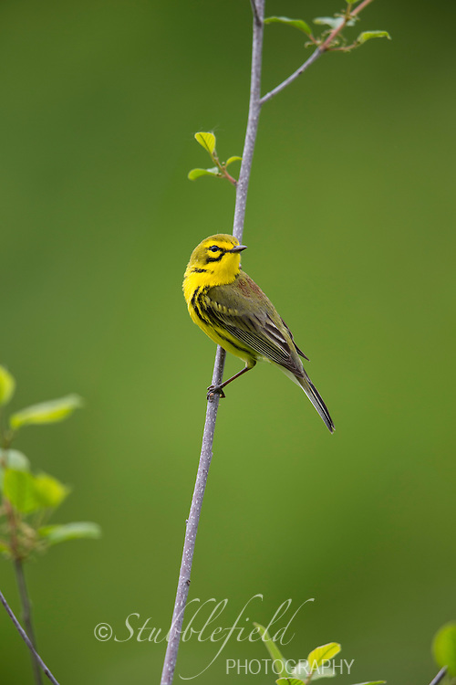 Prairie Warbler (Setophaga discolor discolor). male in breeding plumage on it's breeding territory in Sterling Forest State Park, New York