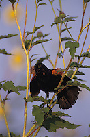 Red-winged Blackbird, Agelaius phoeniceus, male singing on sunflower, The Inn at Chachalaca Bend, Cameron County, Rio Grande Valley, Texas, USA