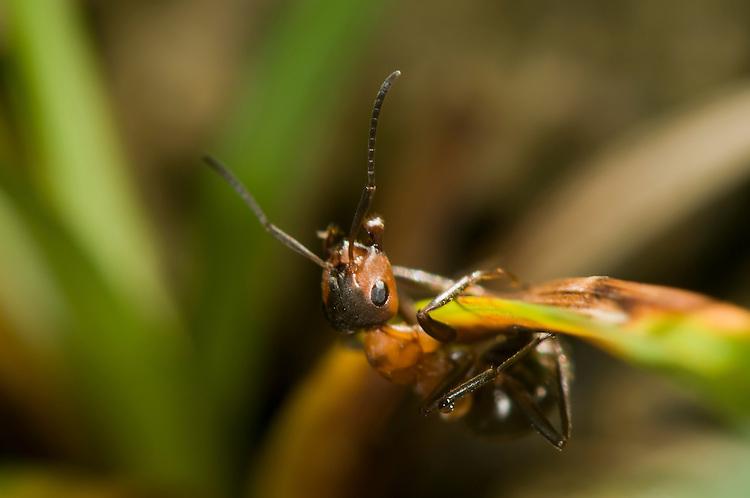 Wood ant, Formica rufa, foraging. Sapperton, Gloucestershire. UK.