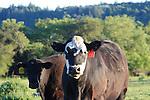 cattle, Forestville