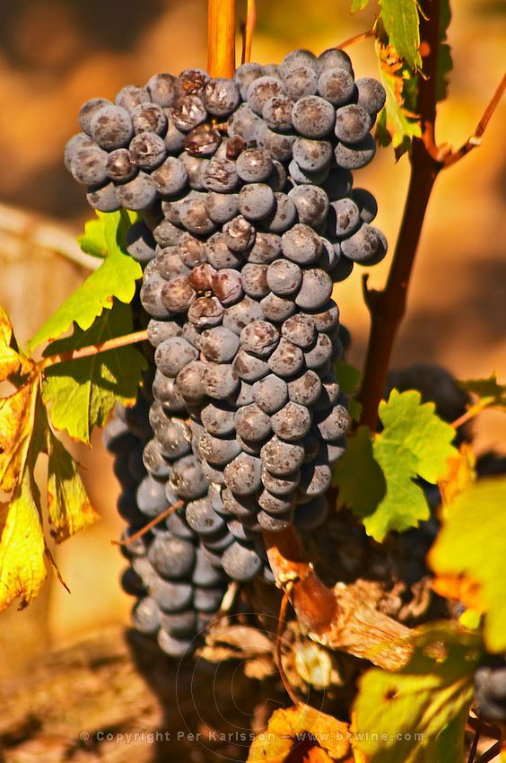 A bunch of ripe cabernet sauvignon in the vineyard  - Chateau Baron Pichon Longueville, Pauillac, Medoc, Bordeaux, Grand Cru