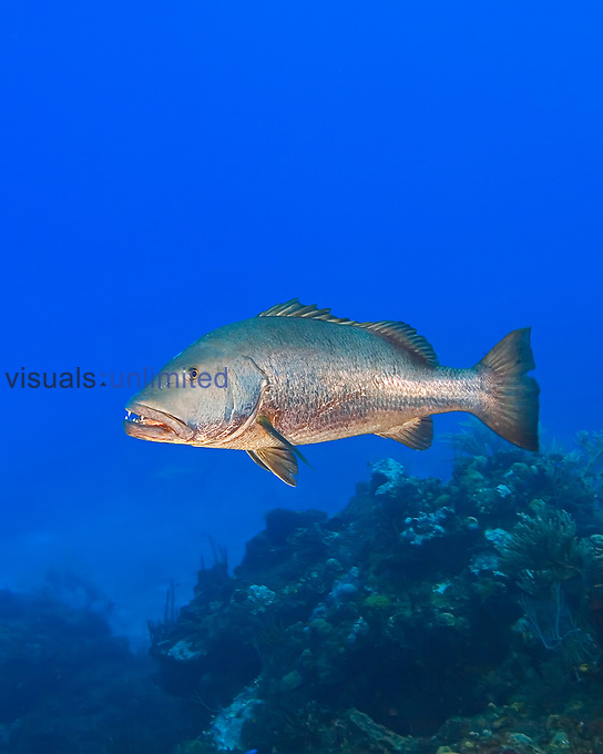 Cubera Snapper (Lutjanus cyanopterus) large adult (over 5 feet long and weighing over 100 pounds), a vulnerable species, West End, Grand Bahama, Atlantic Ocean.