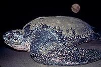 leatherback sea turtle, Dermochelys coriacea, comes ashore to lay eggs on beach, Mexiquillo Beach, Mexico, Pacific Ocean