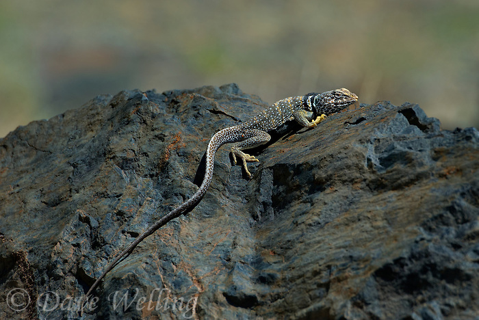 414390036 a wild male great basin or desert collared lizard crotaphytus insularis bicinctores perches on volcanic basalt rock along silver canyon road near bishop in inyo county california