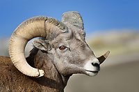Bighorn Sheep Ram, Badlands National Park, South Dakota