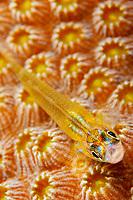 peppermint goby, Coryphopterus lipernes, on hard coral polyps, Bonaire, Netherlands, Caribbean Sea, Atlantic Ocean