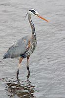 This Great Blue heron (Ardea herodias) is decked out in full breeding plumage. Herons can be very territorial and this one claimed the confluence of Trout Creek and the Yellowstone river, in the middle of Yellowstone's Hayden Valley.  The Reddish Egret and Little Blue Heron could be mistaken for the Great Blue Heron, but are much smaller, and lack white on the head and yellow in the bill.