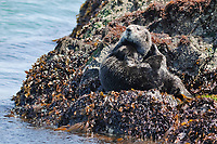 Asian sea otter, moves surface of the sea, Enhydra lutris lutris, endangered species, hauling out on rocky shore, Cape Erimo, Hokkaido, Japan, Pacific Ocean